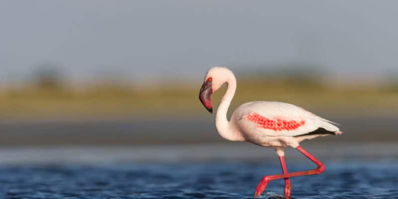 Lesser Flamingo © Mark Dumbleton / Shutterstock