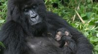AFRICA: Recycling smartphones to save gorillas by saving Coltan ©Erwinf/Shutterstock