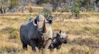 South African Black Rhino © Shutterstock