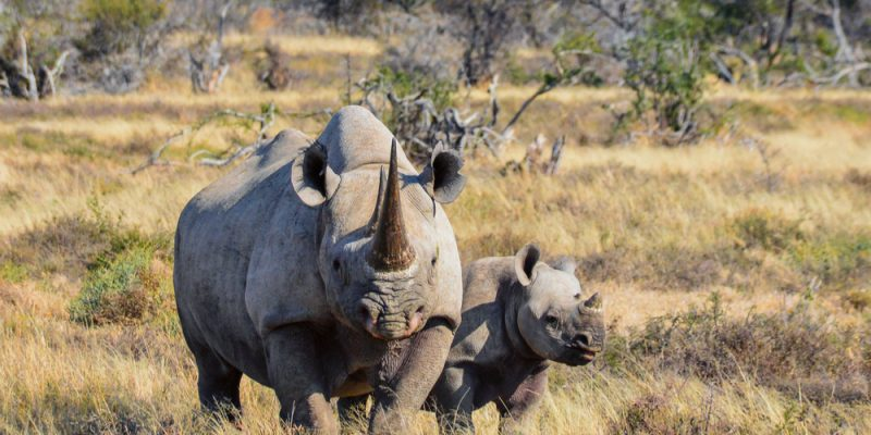 South African Black Rhino © Shutterstock