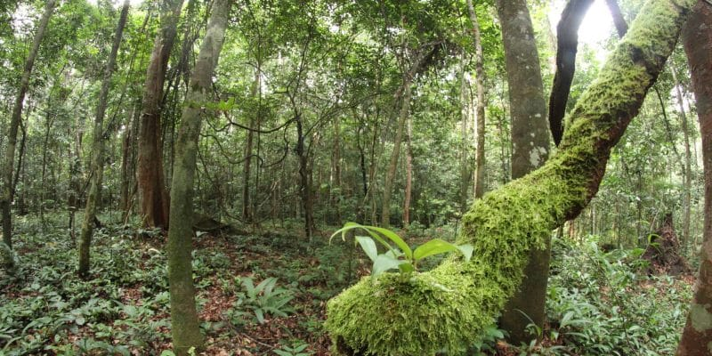 The Raponda Walker Arboretum called Bois des géants [Giant's Woods] in Gabon © Vincent Prié, Biotope