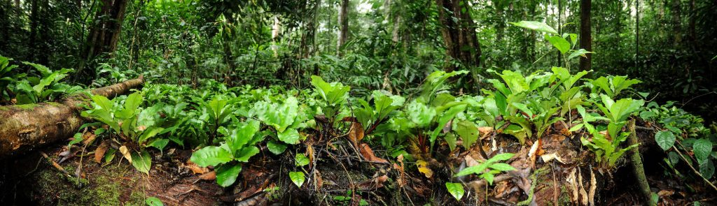Palisota, endemic species of Gabon, nestled in the Bois des géants © Michel Geniez, Biotope