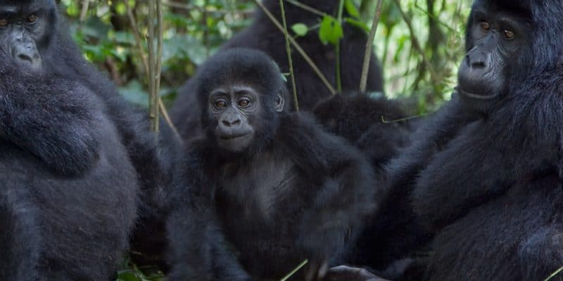 AFRICA: 124 more mountain gorillas give IUCN hope in eight years©Photodynamic/Shutterstock