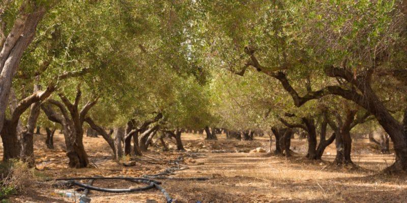 TUNISIE : Fendri mêle intelligence artificielle et irrigation de ses oliveraies bio © Matej Kastelic /Shutterstock