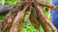 GHANA : Deux jeunes produisent de l'énergie grâce au manioc