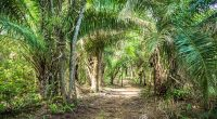 AFRICA: When oil palm cultivation threatens biodiversity...©Filipe Frazao/Shutterstock