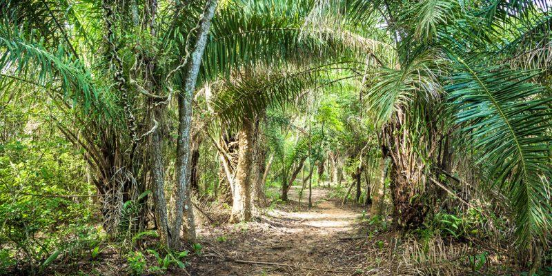 AFRIQUE: quand la culture le palmier à huile menace la biodiversité…©Filipe Frazao/Shutterstock