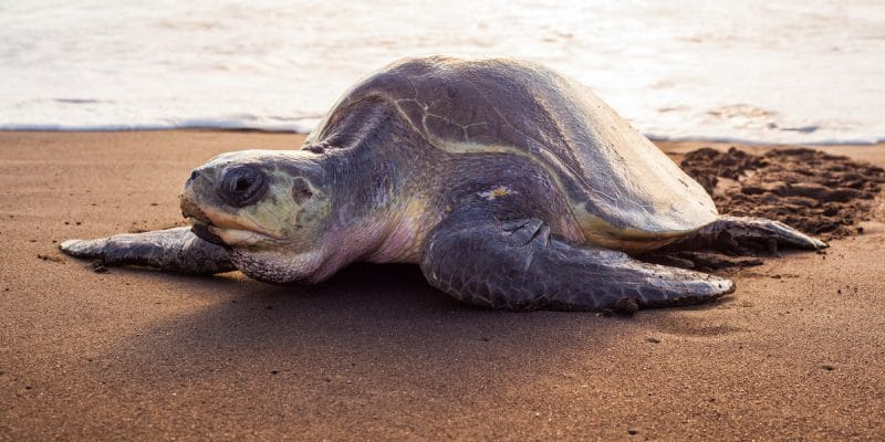 GUINEA BISSAU: Global warming feminises and weakens marine turtles©Xenia_Photography/Shutterstock