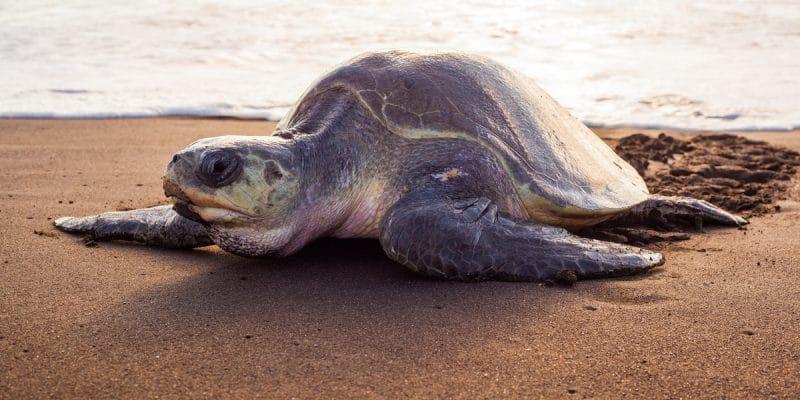 GUINÉE BISSAU : le réchauffement climatique féminise et fragilise les tortues marines©Xenia_Photography/Shutterstock