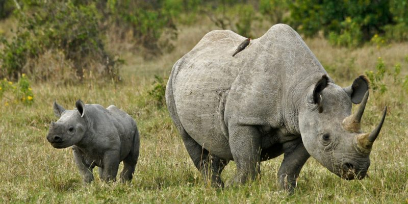 AFRICA: Sigfox relies on Internet of Things (IoT) to protect rhinos ©MicheleB/Shutterstock