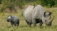 AFRIQUE : Sigfox mise sur l'internet des objets (IoT) pour protéger les rhinocéros ©MicheleB/Shutterstock