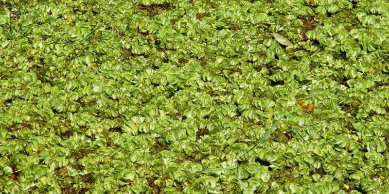 OUGANDA : l'Égypte finance un projet de lutte contre l'herbe envahissante de Kariba© DESIGNFACTS/Shutterstock