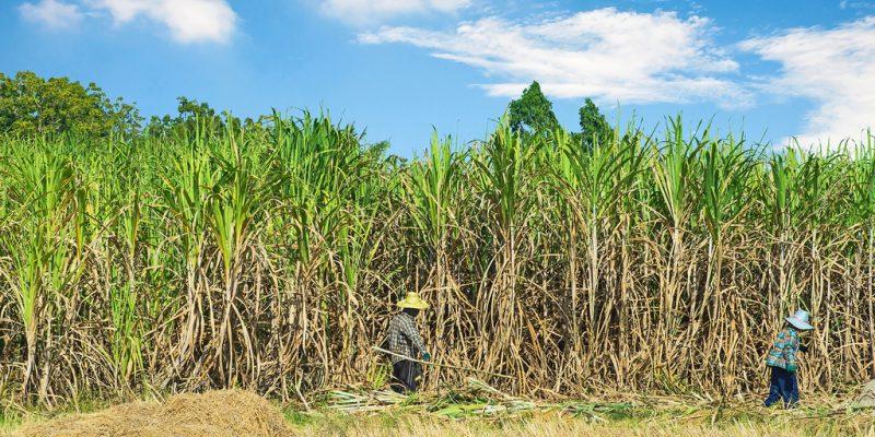 TANZANIE : une plantation de canne à sucre sera bientôt transformée en réserve ©TigerStock's/Shutterstock