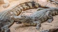 AFRIQUE : Louis Vuitton durcit ses critères d'achat de peaux de crocodile©VacancylizmShutterstock