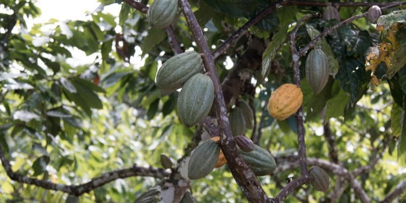 WEST AFRICA: Ghana and Ivory Coast publish Cocoa & Forests plan©gustavomellossaShutterstock