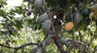 AFRIQUE DE L'OUEST : le Ghana et la Côte d'Ivoire publient leur plan Cocoa & Forests©gustavomellossaShutterstock
