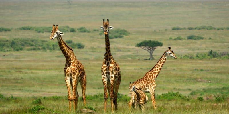 AFRIQUE : trente pays font pression sur l'UE contre le braconnage des girafes©Attila JANDIShutterstock