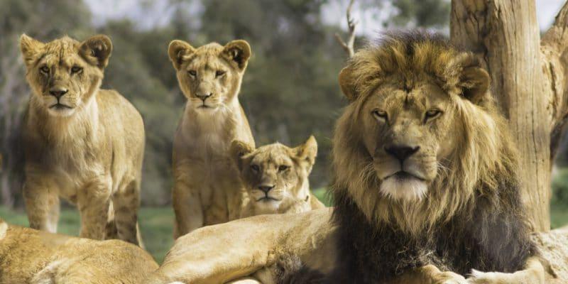 AFRIQUE : Lionscape, une coalition pour protéger les lions et doubler leur nombre©Teresa Moore/Shutterstock