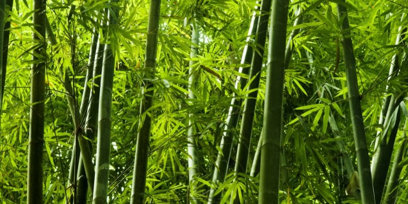 RWANDA: Government joins forces with China Bamboo to promote the product©szefei/Shutterstock