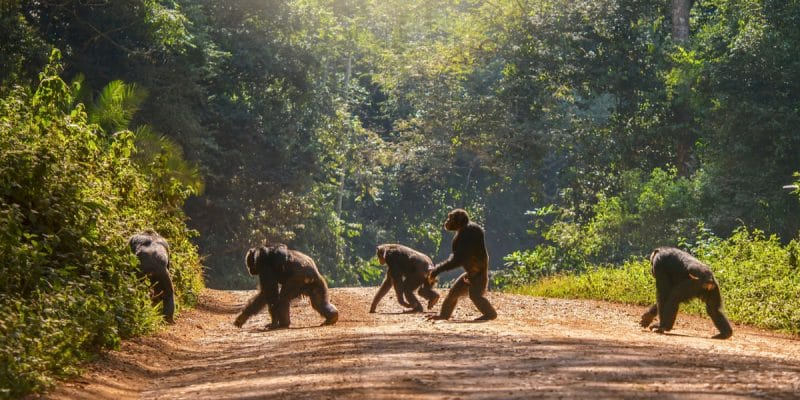 GUINEA: IFC-funded bauxite boom threatens humans and chimpanzees©CherylRamalhoShutterstock