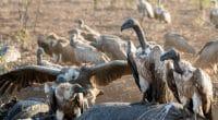 NIGERIA: Saving threatened vultures©LouieLea/Shutterstock