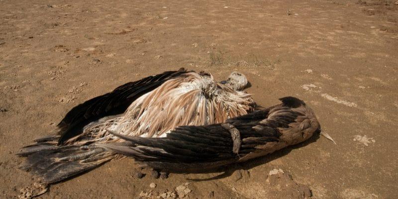 BOTSWANA : plus de 500 vautours retrouvés morts après un empoisonnement massif©FJAHShutterstock