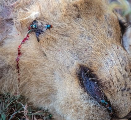 TANZANIA: Trophy hunting imports once again authorised by the US© jgolbyShutterstock