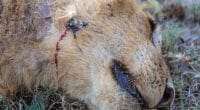 TANZANIE : la chasse aux trophées est à nouveau admise par les États unis© jgolbyShutterstock