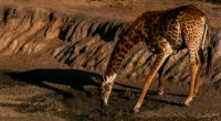 NAMIBIA: Wild animals on sale as a result of severe droughts©Anouska13Shutterstock