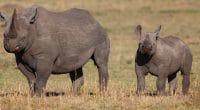 RWANDA : cinq rhinocéros en provenance de zoos européens recouvrent la liberté©Maggy Meyer/Shutterstock