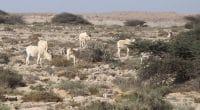 Addax-nasomaculatus-Safia-Maroc-2011 @ Xavier RUFRAY, Biotope