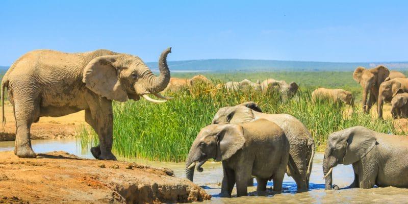 AFRIQUE : nouvelles restrictions au commerce d'éléphants sauvages entrent en vigueur ©Benny Marty/Shutterstock