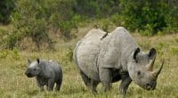 "AFRICA: ""Rhino bonds"" to be issued by 2020 to protect black rhinos©MicheleBShutterstock"