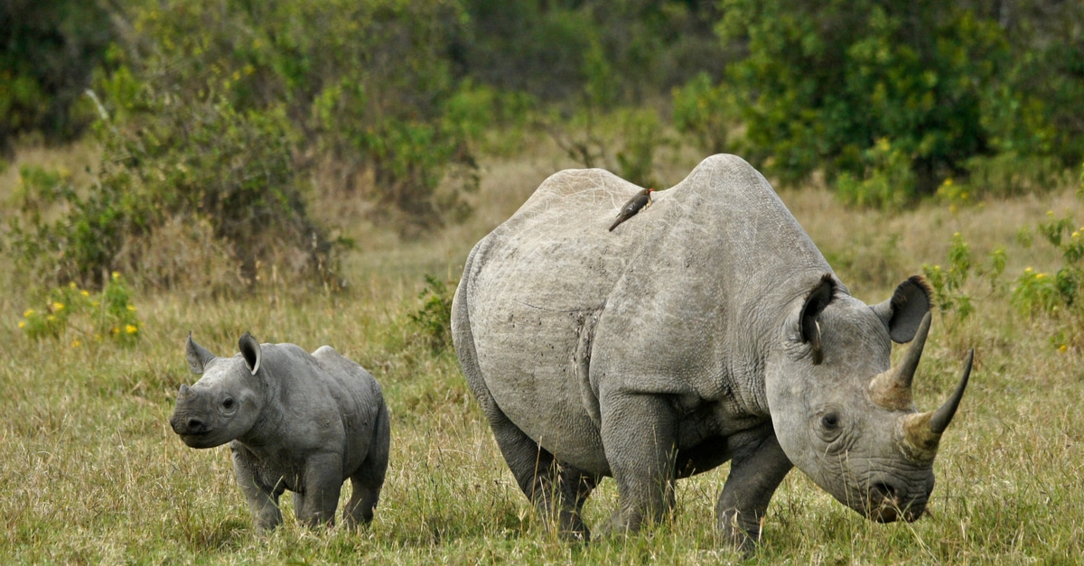 Fake Rhino Horns Could Bring an End to Poaching | LIVEKINDLY