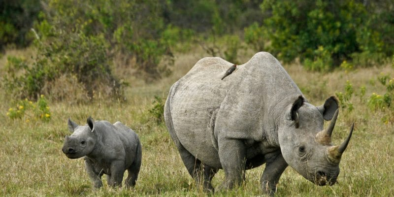 AFRIQUE : des «Rhino bounds» émis dès 2020 pour protéger les Rhinocéros noirs©MicheleBShutterstock