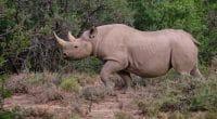 TANZANIE : neuf rhinocéros noirs transférés d'Afrique du Sud vers le Serengeti©jean-francois me/Shutterstock