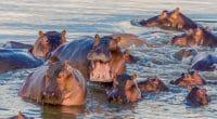 TANZANIE : pour sauver les hippopotames, le gouvernement alimente les mares asséchées©Phillip Allaway/Shutterstock