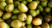 BURKINA FASO: Scientist uses mangoes to produce biogas©Designfacts/Shutterstock