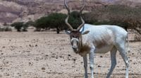 CHAD: Addax and oryx transferred from Abu Dhabi to a reserve in Batha©Mathias Sunke/Shutterstock