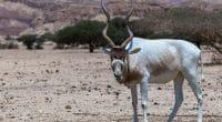 TCHAD : des addax et des oryx transférés d'Abu Dhabi vers une réserve à Batha©Sergei25/Shutterstock