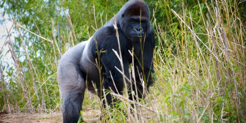 CENTRAL AFRICA: NGOs step up efforts for the protection of great apes©e SlusingShutterstock
