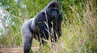 AFRIQUE CENTRALE : les ONG redoublent d'ardeur pour la protection des grands singes©e SlusingShutterstock