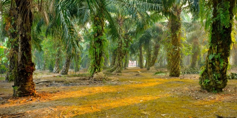 GABON: Olam obtains RSPO certification for its Makouke palm grove©tristan tanShutterstock