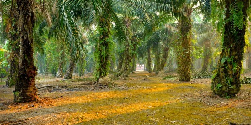 GABON : Olam obtient la certification RSPO pour sa palmeraie de Makouke©tristan tanShutterstock