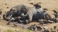 AFRIQUE : pour WWF, les éléphants d'Afrique auront disparu en 2040 si rien n'est fait©Martina WendtShutterstock