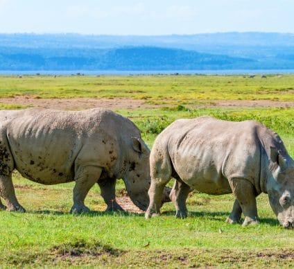 MALAWI: 17 black rhinos transferred from South Africa to Liwonde Park©Yakov Oskanov/Shutterstock