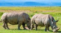 MALAWI : 17 rhinocéros noirs transférés d'Afrique du Sud vers le parc de Liwonde©Yakov Oskanov/Shutterstock