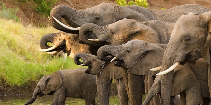 BOTSWANA: Government issues elephant hunting permits© Villiers SteynShutterstock