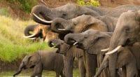 BOTSWANA : le gouvernement délivre des permis de chasse aux éléphants© Villiers SteynShutterstock