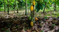 IVORY COAST: Alertive and interactive map on cocoa and deforestation©Neja Hrovat/Shutterstock